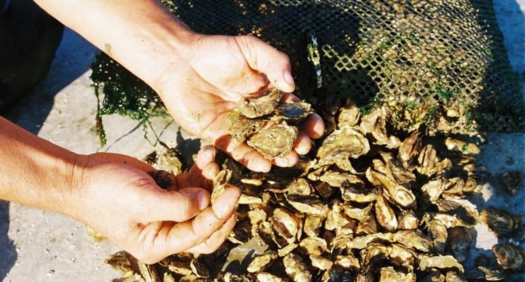 A la veille de Noël, les parcs à huîtres tournent à plein régime