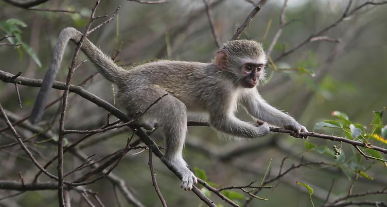 Comme les humains, les singes copient leurs leaders