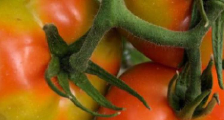 Le virus de la tomate aux portes de la Suisse