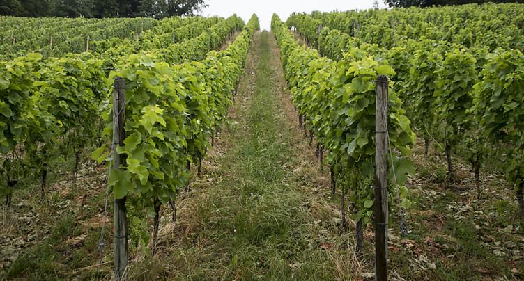 Moins de raisins récoltés en 2019, mais une teneur en sucre élevée