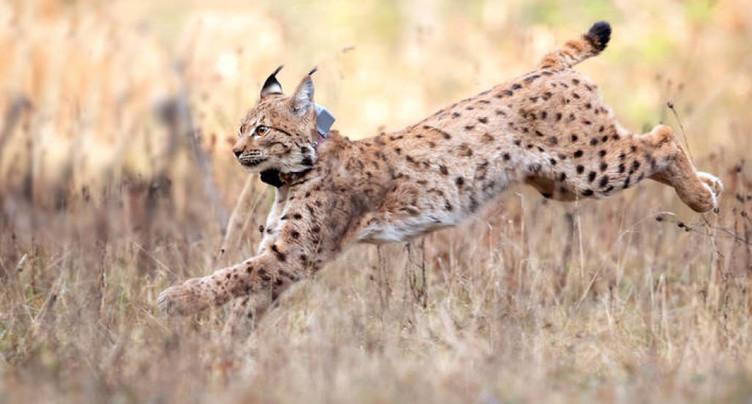 Lynx capturé en Suisse relâché en Allemagne