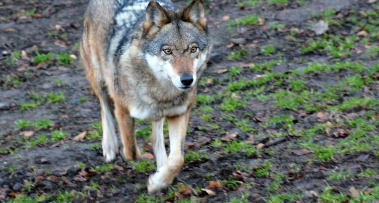 La loi sur la chasse est un bon compromis entre le loup et l'homme