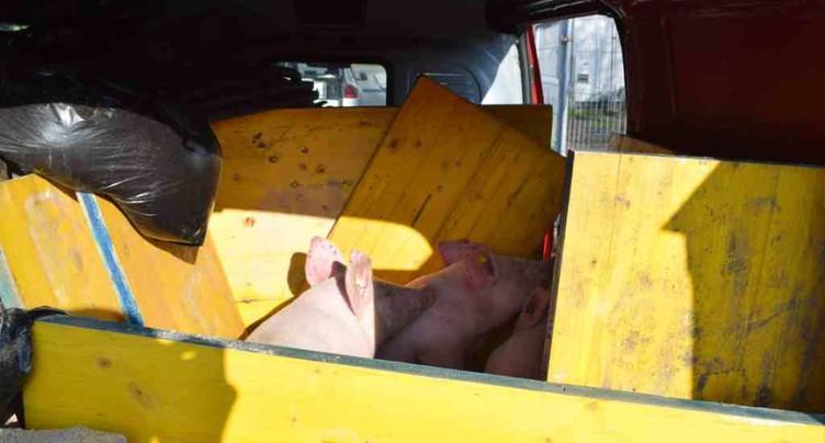 Camionnette surchargée avec trois cochons à l'intérieur