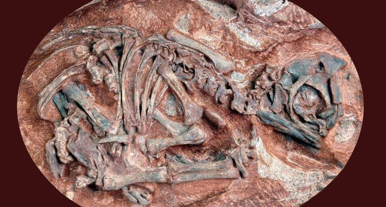 Des oeufs de dinosaures livrent leurs secrets