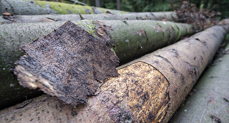 Le bostryche menace les forêts et les pâturages boisés du Jura