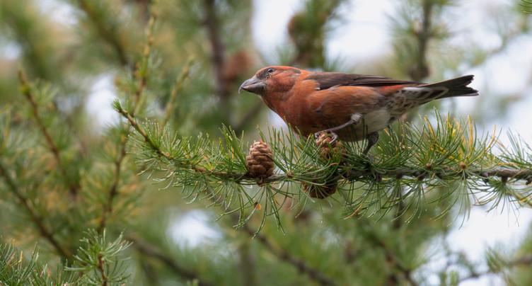 Les oiseaux de haute montagne mis sous pression