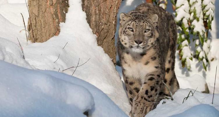 Mort du léopard des neiges Villy au zoo de Zurich