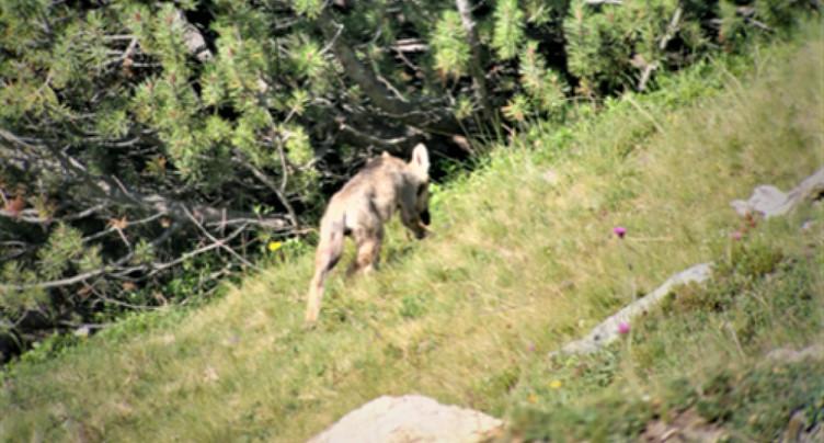 Une septième meute de loups observée dans les Grisons
