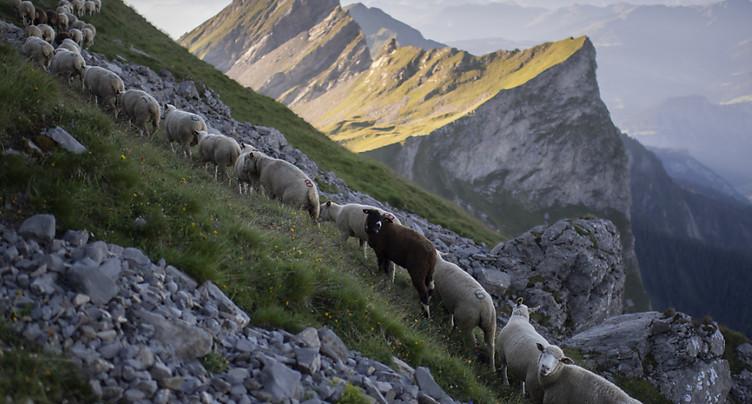 Transhumance de 1300 moutons sur un étroit sentier dans les Grisons