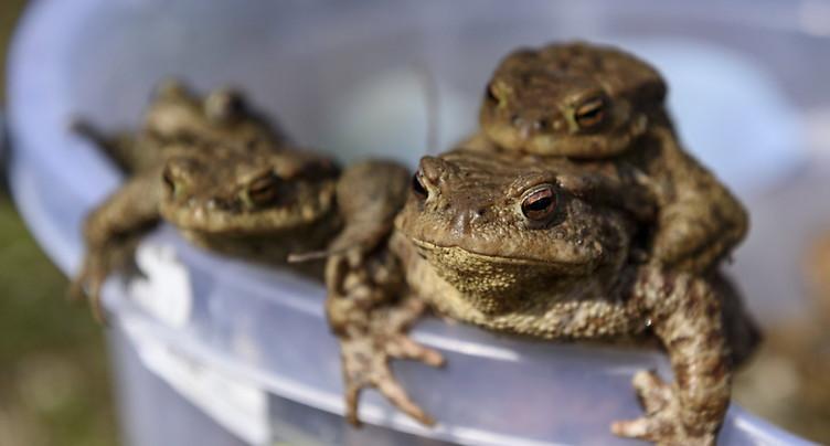 Les grenouilles aussi peuvent avoir un harem de reproduction