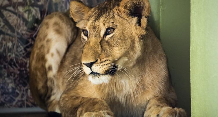 Après le jeune lion Makuti, arrivée de la jeune lionne Malkia au zoo de Servion (VD)