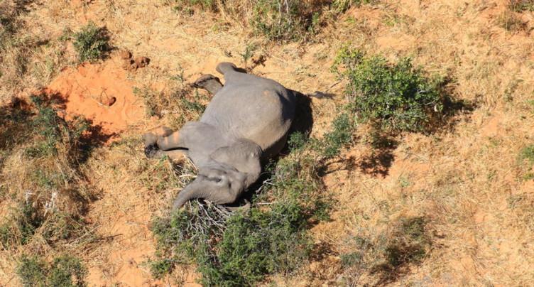 Mort de douze autres éléphants, la même bactérie soupçonnée