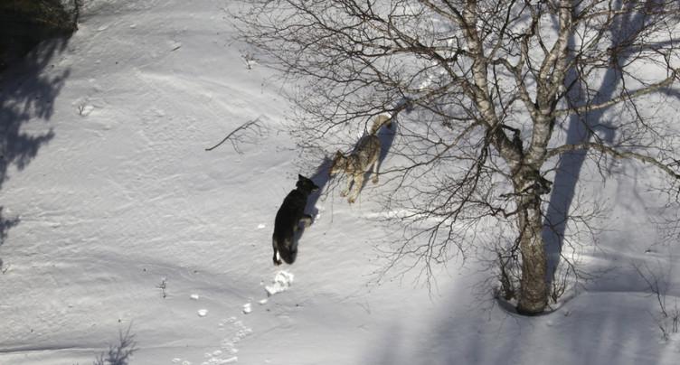 Le loup n'est plus une espèce protégée aux Etats-Unis