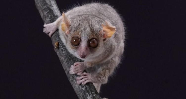 Les capacités visuelles des primates indépendantes de leur taille