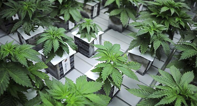 Une loi sur la dépénalisation du cannabis avance au Congrès