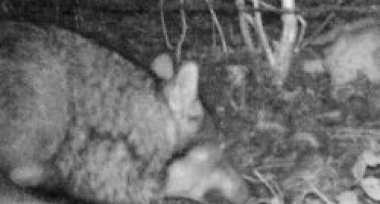 Loup identifié dans le canton pour la première fois depuis 150 ans