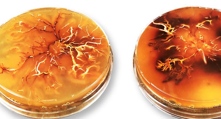 Empa: de la mélanine à partir de champignons