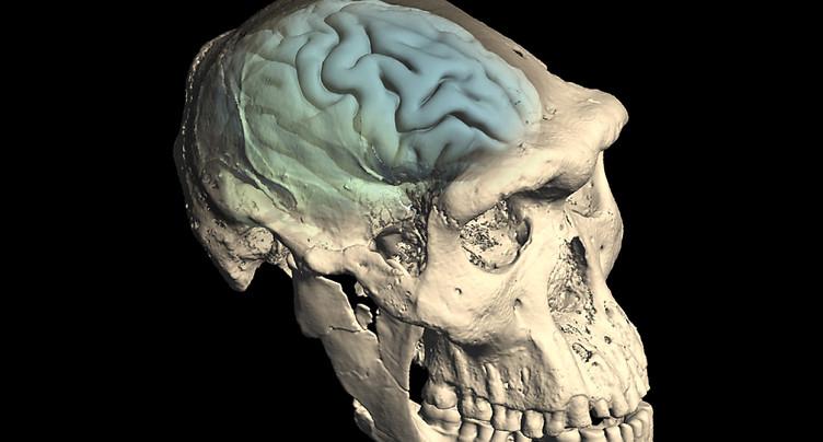 Le cerveau humain actuel est apparu il y a 1,7 million d'années