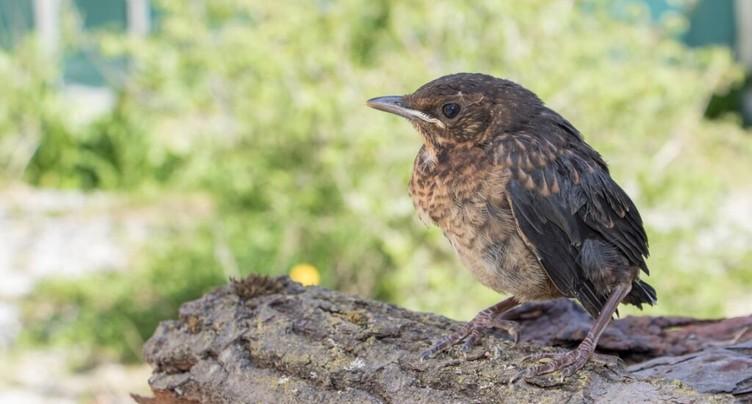 Ne pas toucher les oisillons hors de leur nid