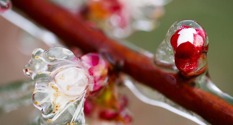 Les abricotiers du coteau valaisan ravagé à près de 100% par le gel
