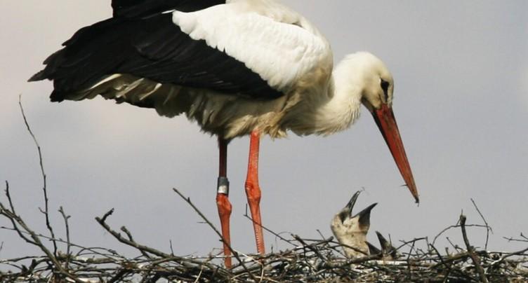 Le plastique, un problème croissant pour les bébés cigognes