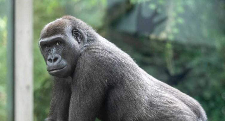 La femelle gorille Mawimbi a dû être euthanasiée