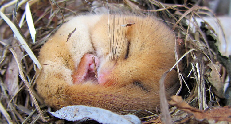 Les loirs hibernaient déjà il y a 34 millions d'années.