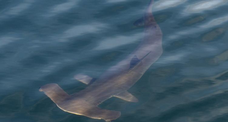 Les requins se repèrent grâce au champ magnétique de la Terre