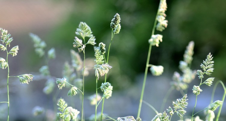 La haute saison des pollens commence avec les graminées