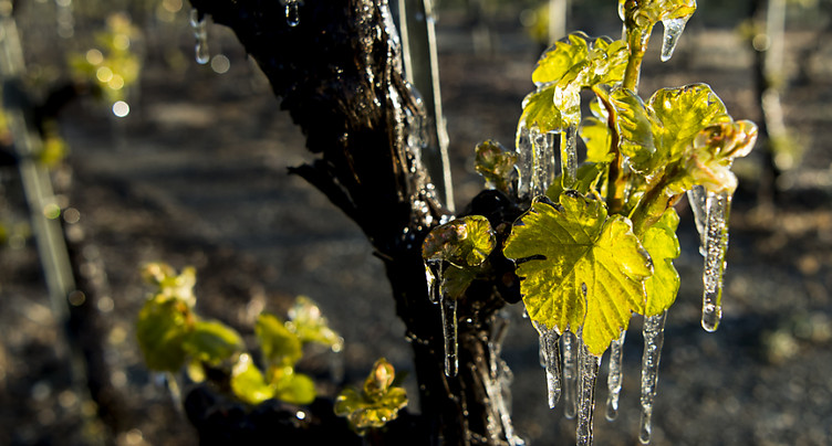 Gel dévastateur dans le vignoble français: réchauffement en cause