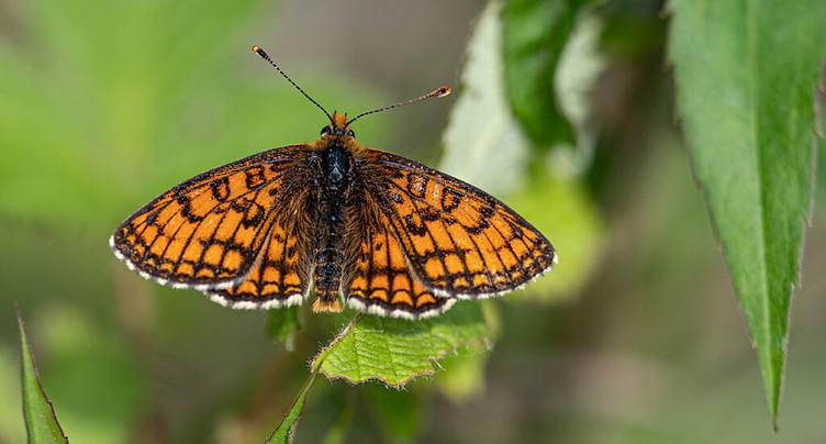 L'azote appauvrit la diversité des papillons suisses