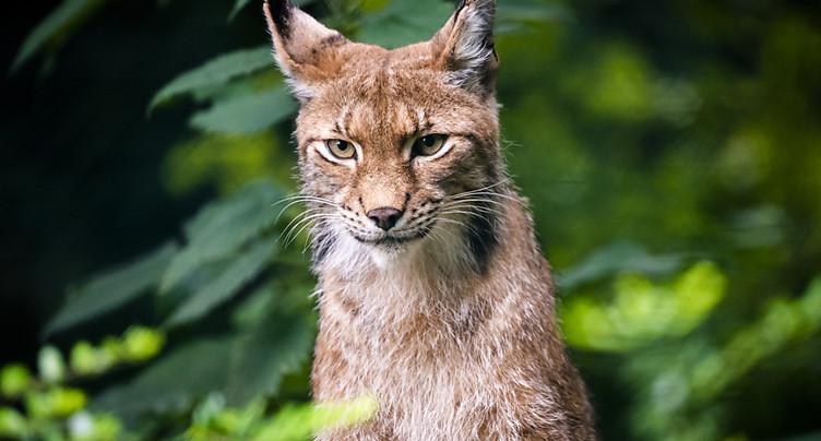 Le braconnage responsable de la faible densité de lynx en Valais