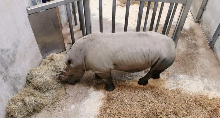 Arrivée d'un nouveau rhinocéros au zoo de Zurich