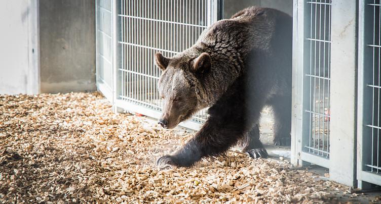 L'ourse Jambolina du parc d'Arosa meurt pendant une opération