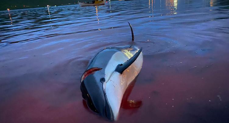Les îles Féroé vont évaluer la chasse au dauphin