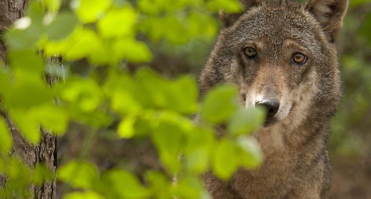 Vaud: une deuxième meute de loups à la Vallée de Joux