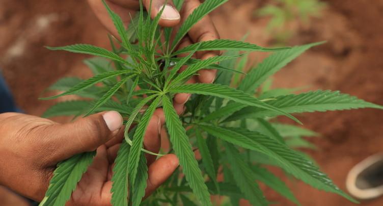 Vers une levée de l'interdiction du cannabis