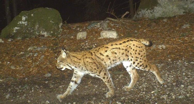Le lynx capturé à St-Ursanne sera euthanasié