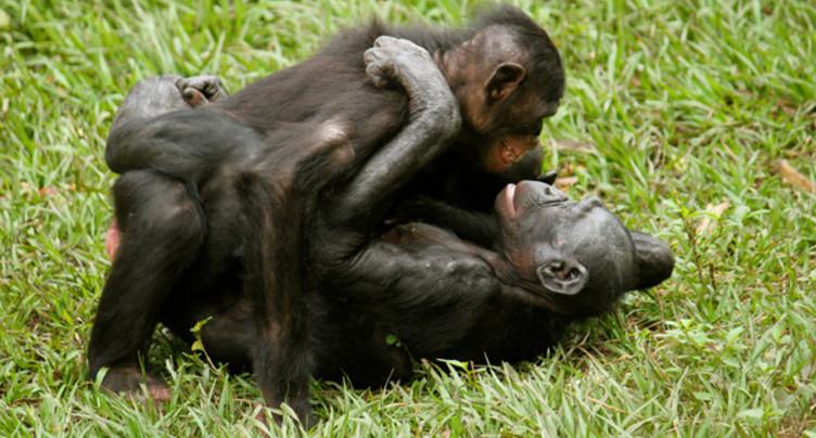 Copier sa mère, une habitude chez les chimpanzés