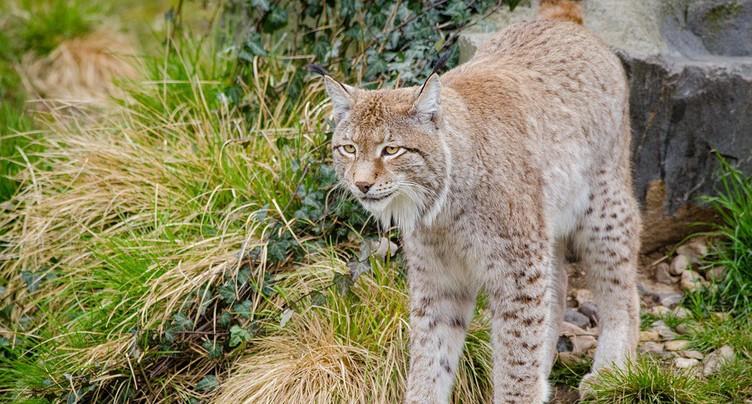 Un lynx retrouvé mort sur les rails à St-Ursanne