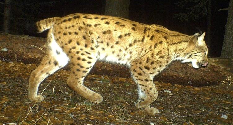 Un lynx capturé pour être réintroduit dans les Vosges