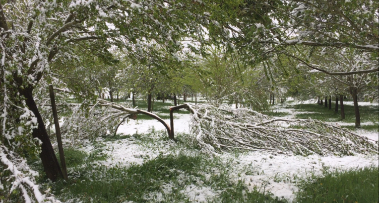La neige fait de gros dégâts chez les producteurs