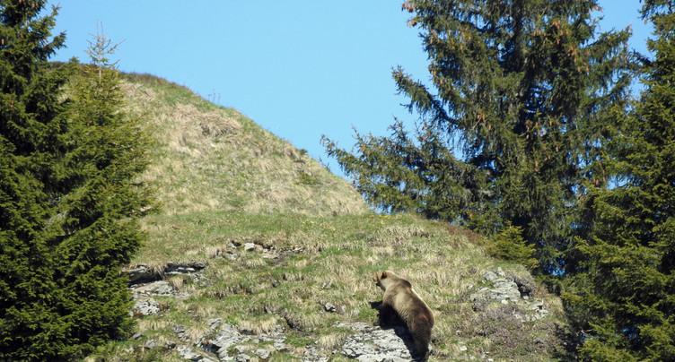 Un ours sauvage photographié dans le canton de Berne
