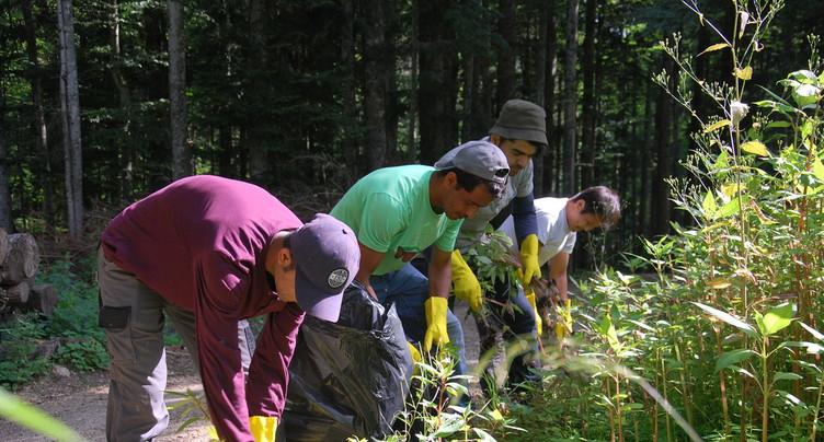 Des requérants d'asile pour lutter contre les plantes envahissantes