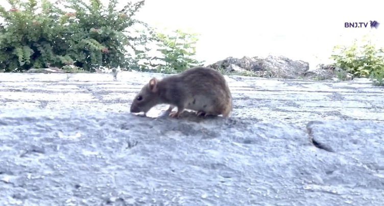 Les rats sont de sortie à Neuchâtel