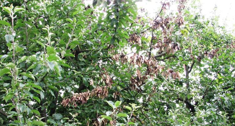 Feu bactérien des arbres fruitiers : la situation s'améliore