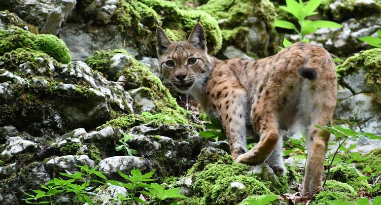 Le lynx en vedette à la Ferme Robert