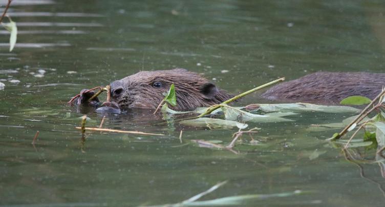 Le castor pâtit plus des inondations qu'il ne les aggrave