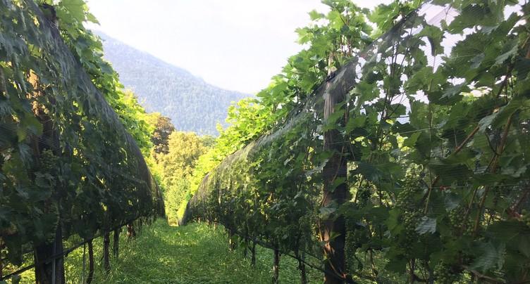 La vigne de Moutier a peu souffert de la grêle