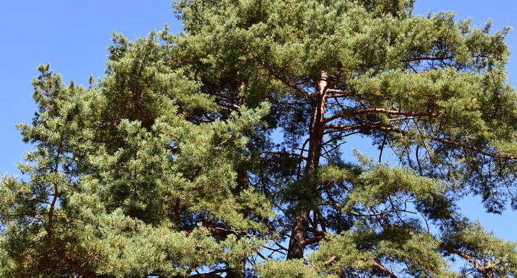 Des abattages d'arbres à Delémont